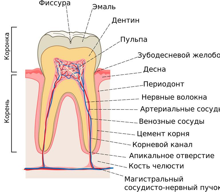 Строение коренного зуба фото