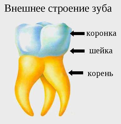 zubi-cheloveka-03